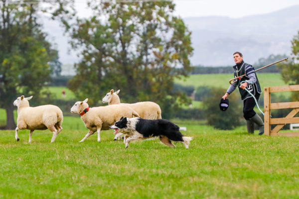 Sheepdogs 20 (1 of 1)_1200